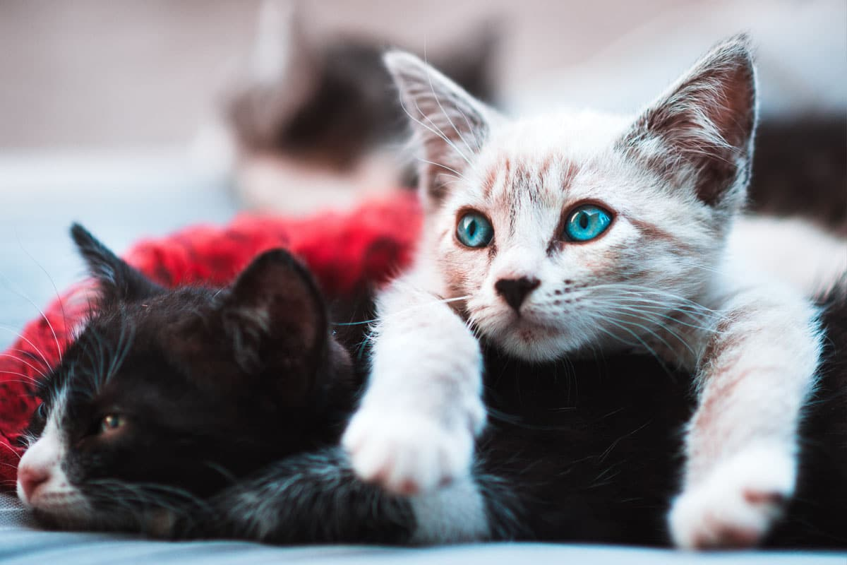 white cat with blue eyes lounging on black cat